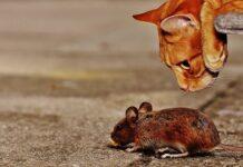 kot i mysz